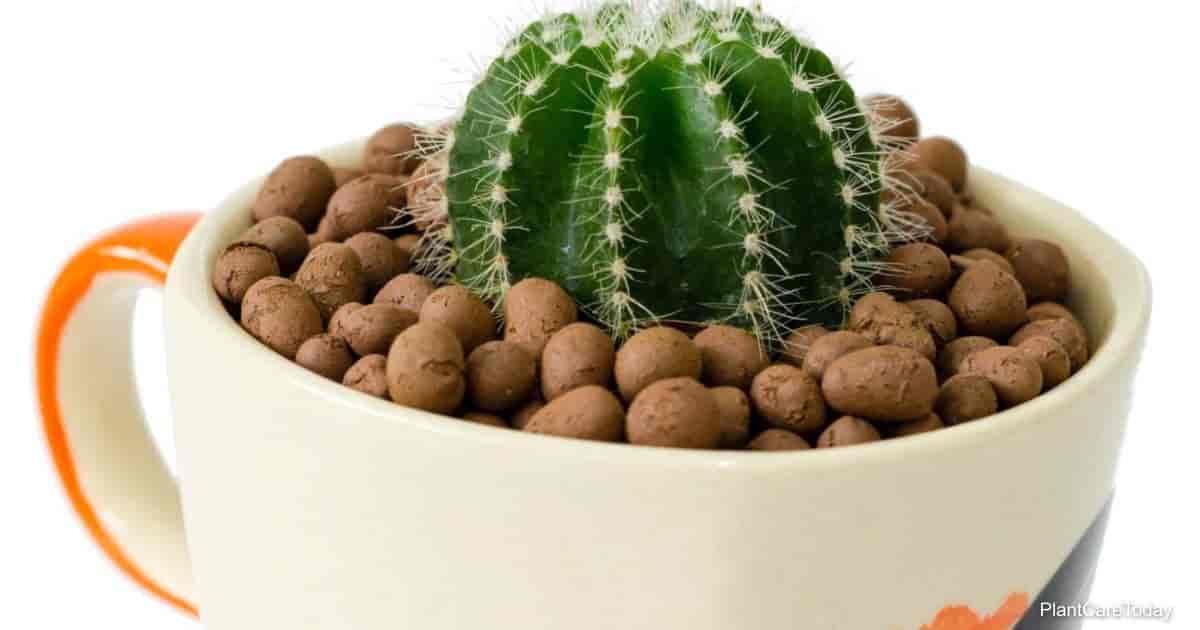 Cactus planted in Hydroton clay pebbles