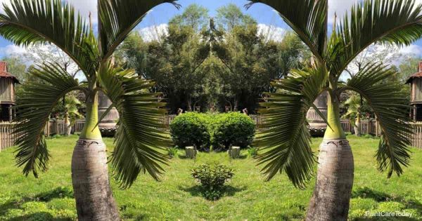 Bottle Palm aka Hyophorbe lagenicaulis growing in the landscape