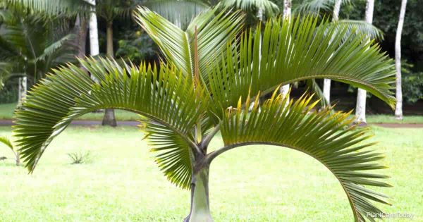 Fronds of the Spindle palm tree - Hyophorbe verschaffeltii