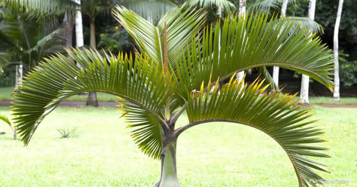 Hyophorbe verschaffeltii fronds (Spindle palm)