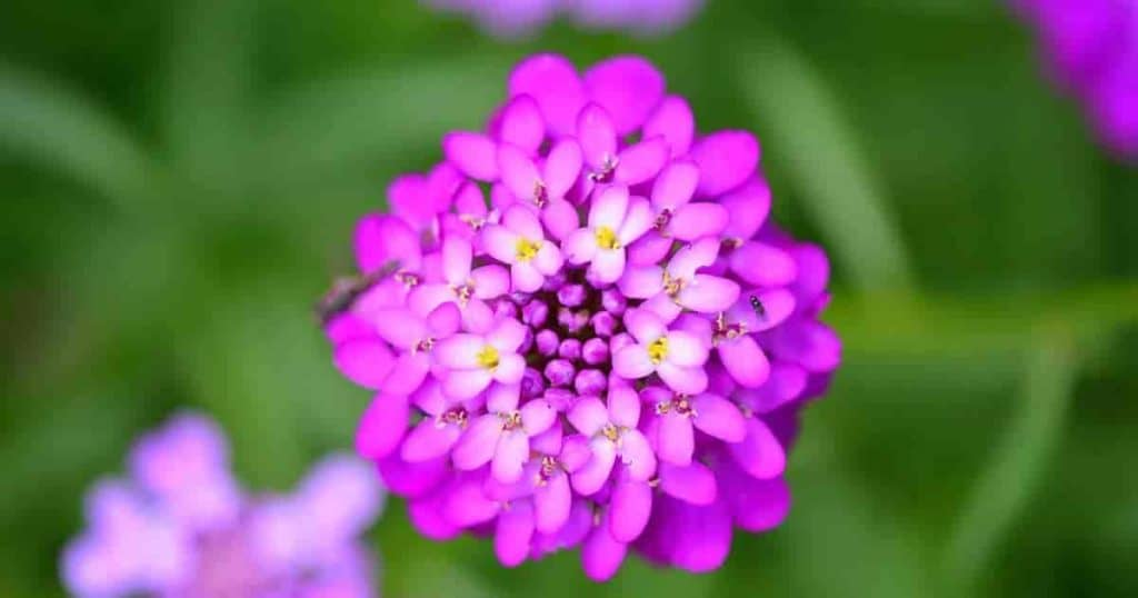 Flowers up close of the Candytuft Plant - Iberis Umbellata