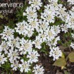 Blooming Iberis Sempervirens aka Evergreen Candytuft
