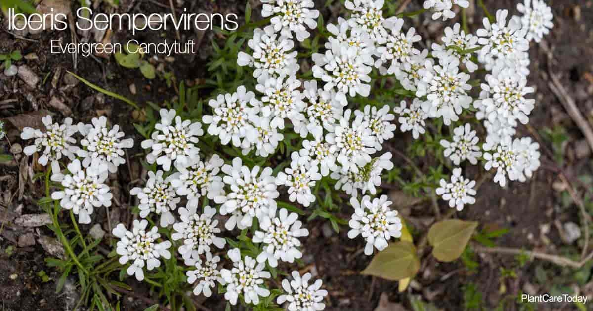 Blooming Iberis Sempervirens aka Evergreen Candytuft