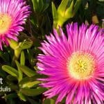 Ice Plant: How To Care For Purple Iceplants