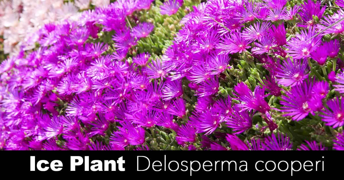 Ice Plant: How To Care For Iceplants on sword house plant, avocado house plant, marijuana house plant, steel house plant, banana house plant, jade house plant, leaf house plant, lazarus house plant, ant house plant, lemon house plant, dolphin house plant,
