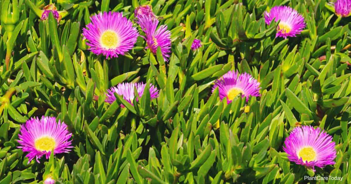 ice plant growing as a ground cover