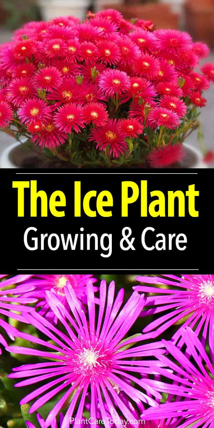 colorful blooms of the Ice Plant