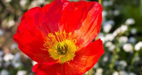 bright Icelandic poppy flower