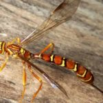 Ichneumon Wasp – How To Control Garden Pests Naturally [USE GUIDE]