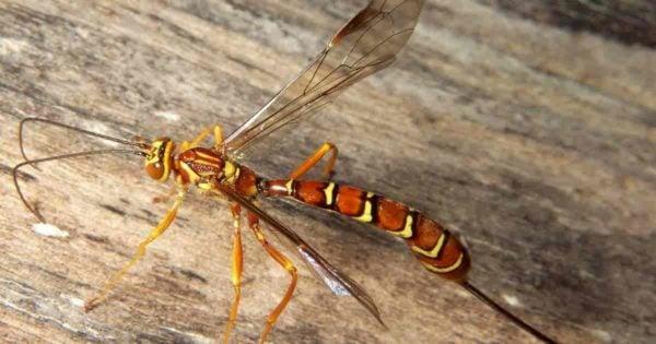 Ichneumon wasp - Megarhyssa macrurus