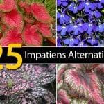 25 Impatiens Alternatives – Disease Response Alert (Updated 2018)