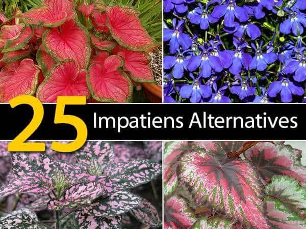 impatiens-alternatives-053114