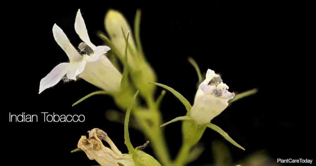 Flower of the native Lobelia Inflata - Indian Tobacco