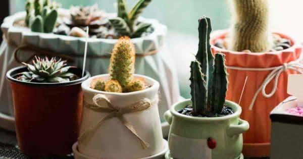 Indoor succulents growing by window