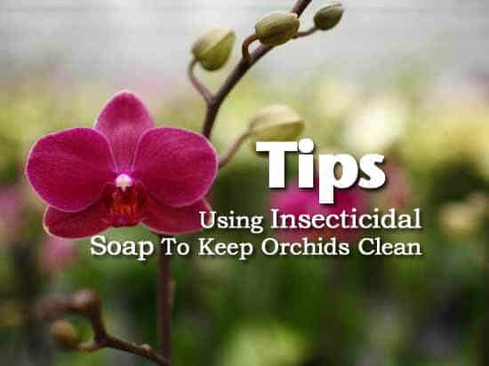 insecticidal soap and orchids