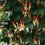 Firecracker Vine: How To Care And Grow The Ipomoea Lobata