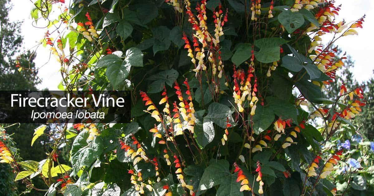 ipomoea lobata firecracker vine