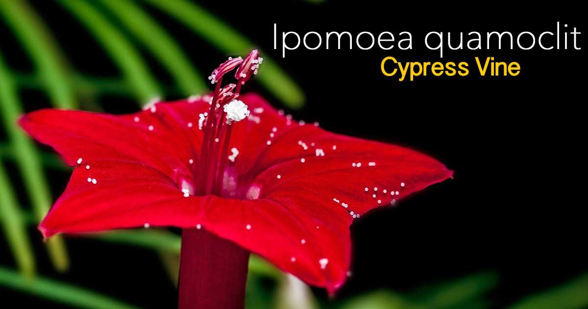 ipomoea-quamoclit-07312016