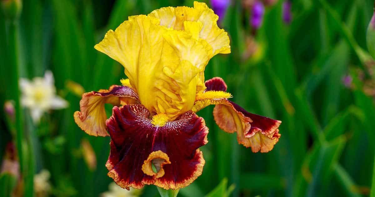 iris-bearded-10312015