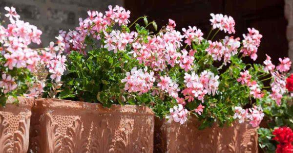 Flowering Ivy Geranium (Pelargonium Peltatum)