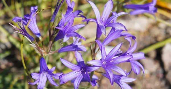 Flowering Ixiolirion Siberian lily