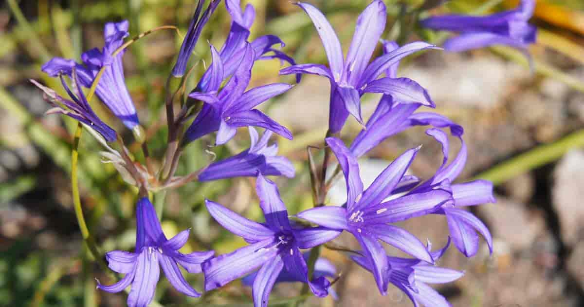 Growing Lavender Mountain Lily Learn Ixiolirion Bulb Care