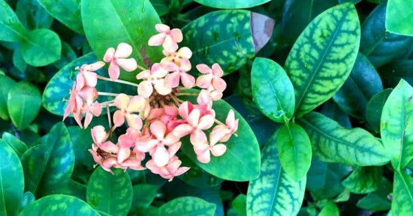 ixora plant with chlorosis in need of Chelated Iron