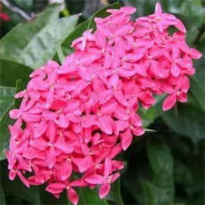 ixora-nora-grant-pink