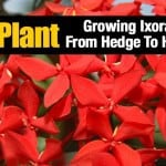 Ixora Plant: Growing Ixora Flower From Hedge To House Plant