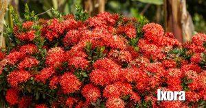 Blooming Dwarf Ixora