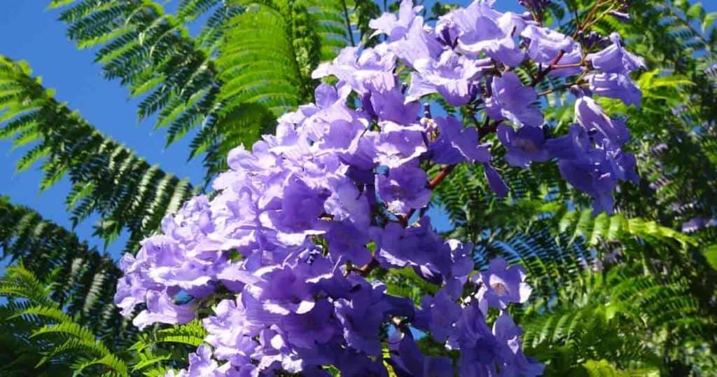Mimosifolia Flower on Jacaranda