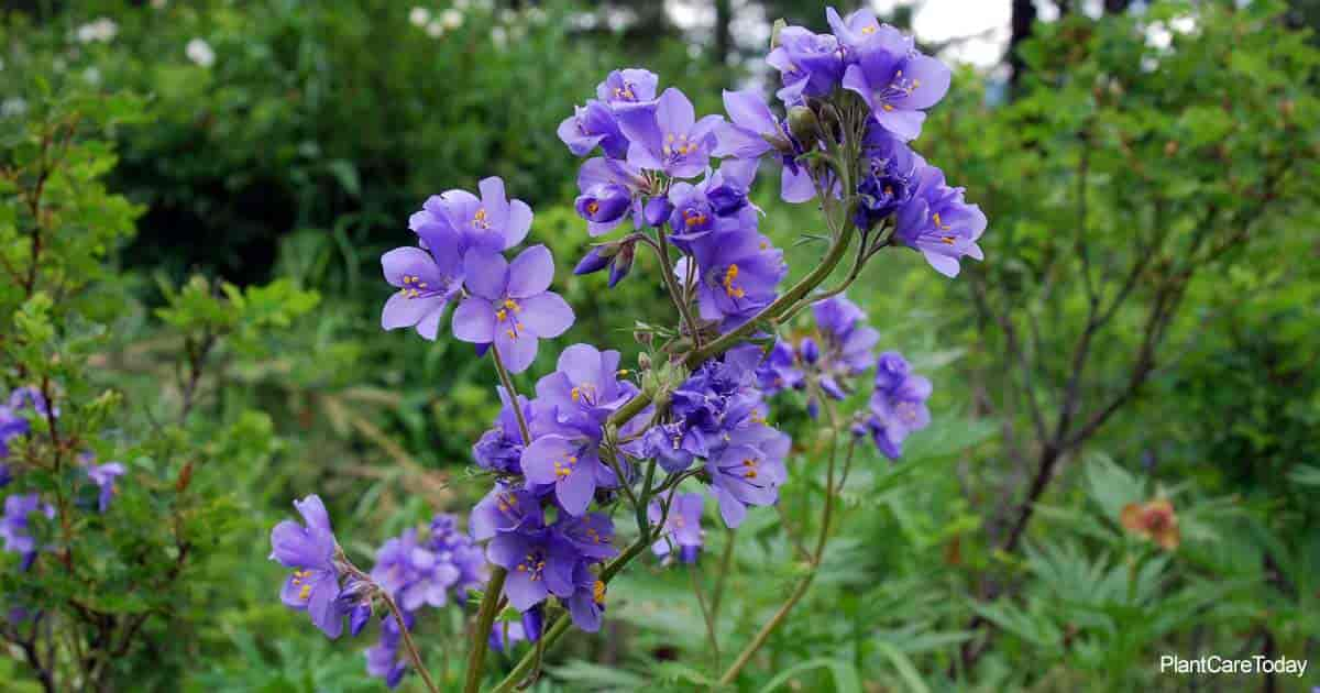 Blooming Jacob's ladder (Polemonium Caeruleum)