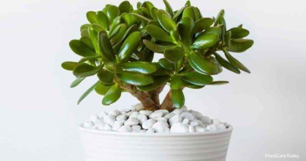 Potted popular Jade plant (Crassula ovata)
