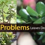 Jade Succulent Plant Problems – Leaves Turning Yellow & Dropping Off?