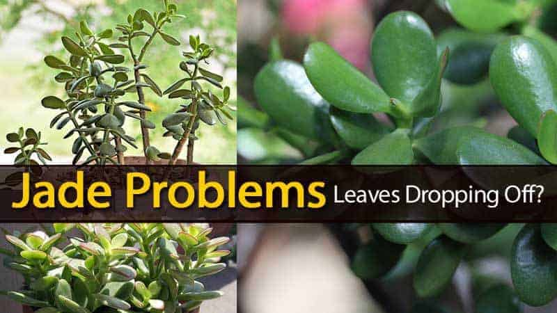 jade plant dropping leaves and other problems