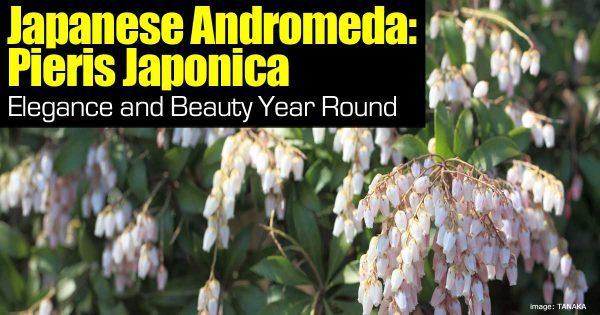 japanese andromeda
