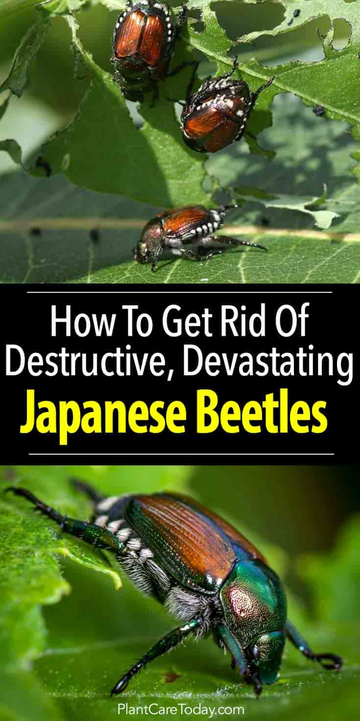 Japanese Beetle How To Get Rid Of Japanese Beetles