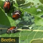 Japanese Beetle: How To Get Rid Of Japanese Beetles