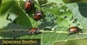 japanese beetles feeding on leaves