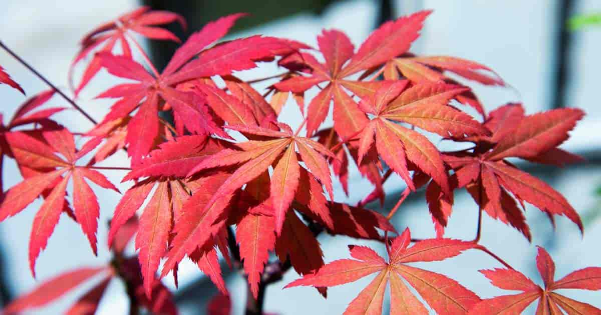 Colorful leaves of the Japanese Maple (Acer Palmatum)