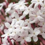 sweet fragrant flowers of the jasmine plant