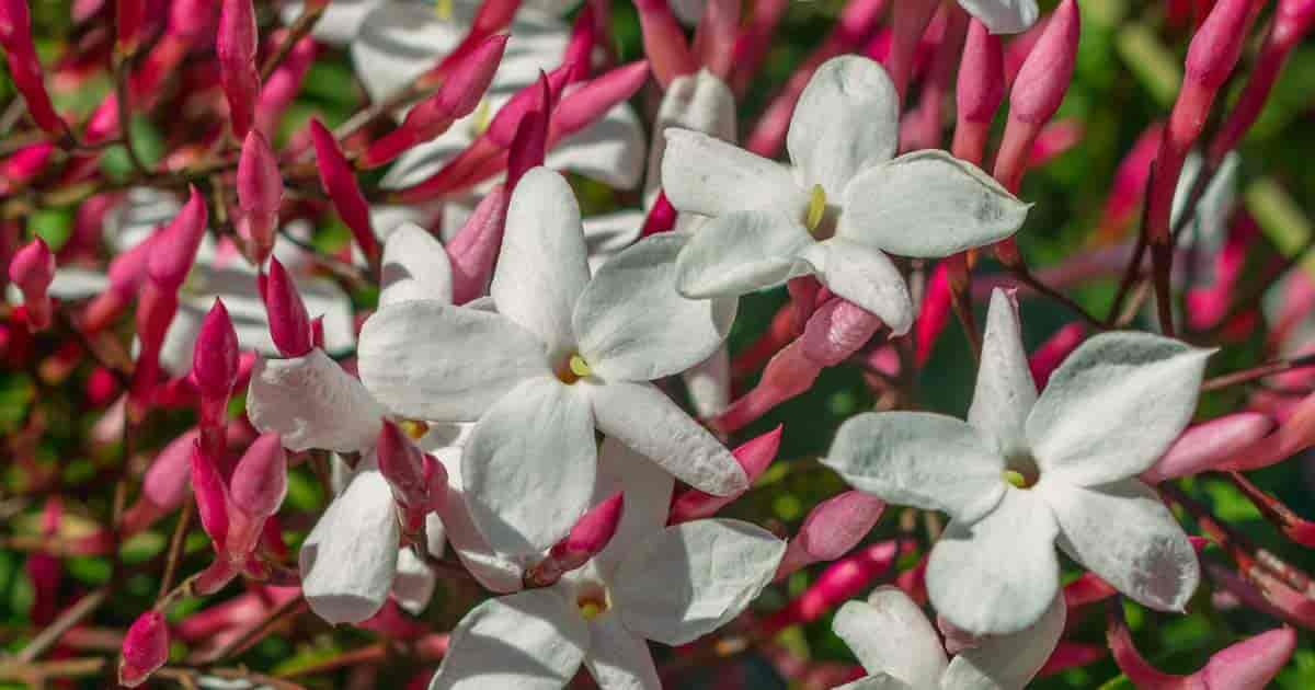 Flowers and buds on Pink Jasminum