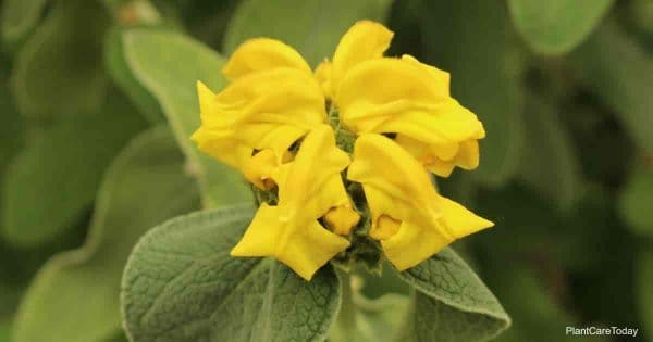 yellow blooms of the jerusalem sage