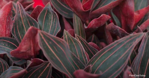 attractive foliage of the jewel orchid