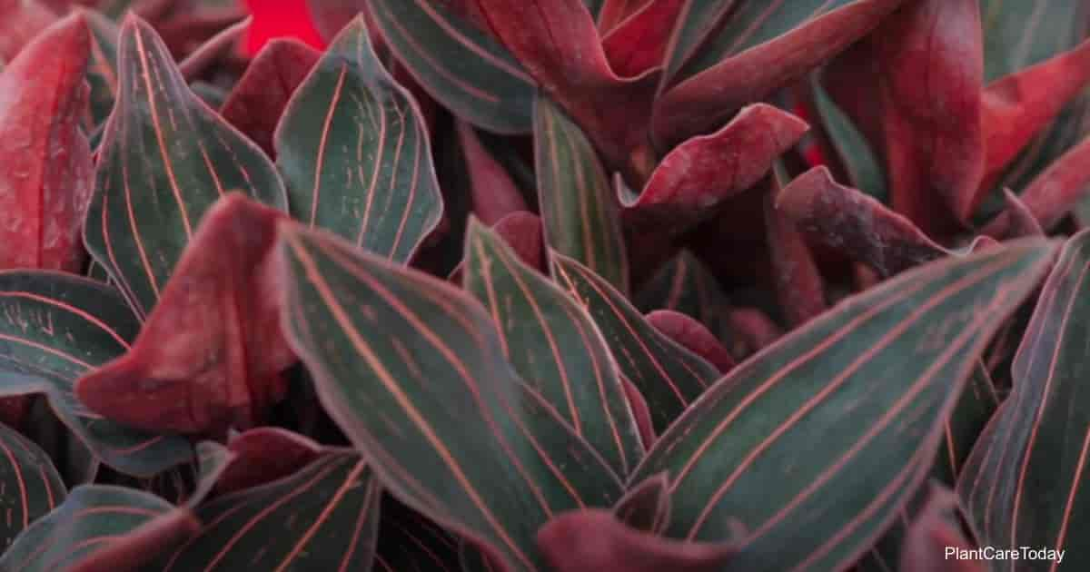 pretty foliage of the jewel orchid