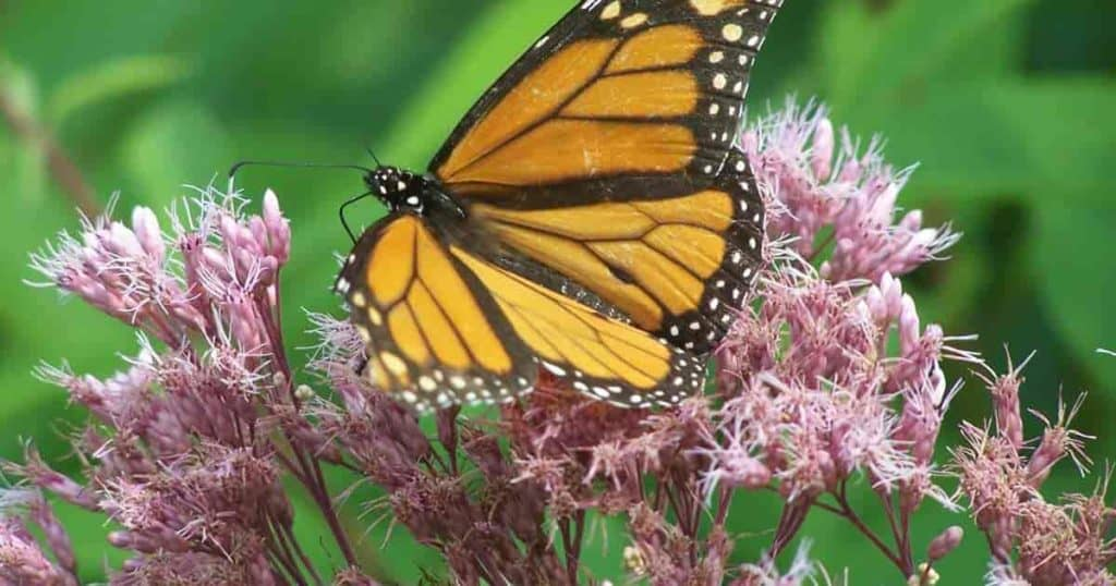 Butterfly enjoying the nectar of the Joe Pye weed flower