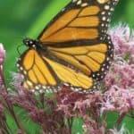 Beautiful Joe Pye Weed – How To Grow And How Useful Is It?