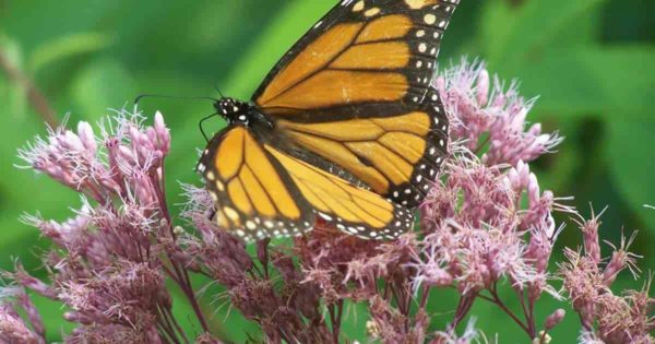 Butterfly enjoying the nactar of the Joe Pye weed flower