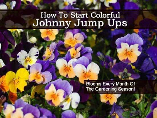 johnny-jump-up-2-062813