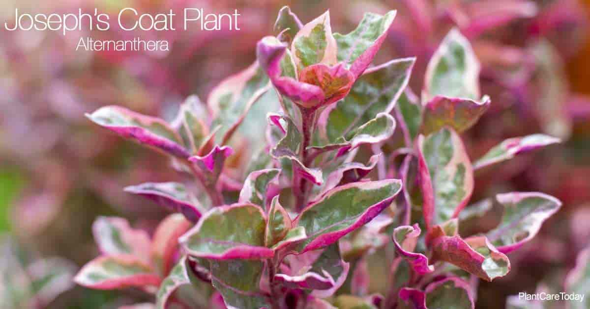Colorful leaves of the Joseph's Coat Plant aka (Alternanthera)